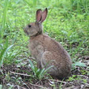 The Japanese hare's brown fur changes to white during the winter of some regions of Japan.